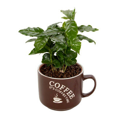 COFFEE PLANT - 10 seeds - Tropical Coffee house plant - Coffea arabica nana