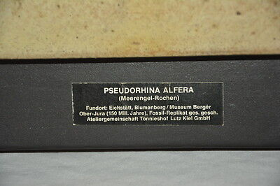 Meerengel - Rochen Tonabguss 45x45 Ton Keramik von Fossil Pseudorhina Alfera
