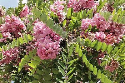 15 Rose Locust Pink Acacia Flower Robinia Hispida Fertilis Tree