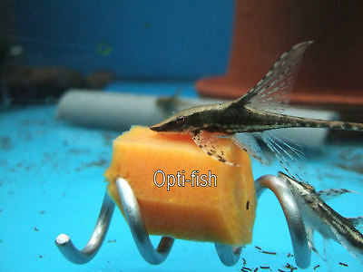 Screwcumber, Fish Tank/aquarium Vegetable Feeder, Pleco, Clown Loach/snails Etc 6