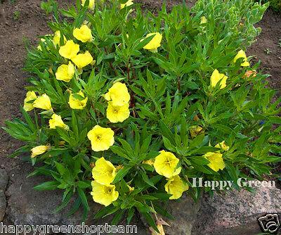 Oenothera /'Copper Canyon/' 100 Seeds Perennial Evening Primrose