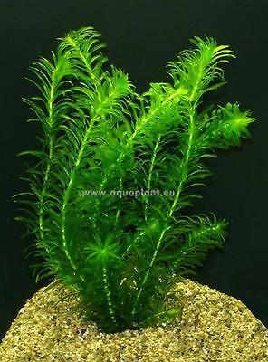 Aquariumpflanzen Set 15XXL Bunde, Aquarienpflanzen, Wasserpflanzen, Dicke Bunde 9