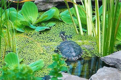SNAIL FREE 1000+ duckweed indoor grown live organic aquarium  BUY2GET1 FREE 3