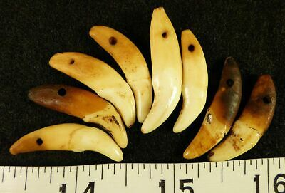 (8) Sioux Indian Drilled Canine Coyote Teeth Ornamental Beads Very Old!! 4