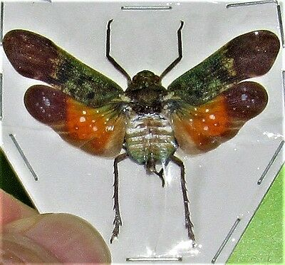 Sulawesi Lanternfly Cicada Penthicodes farinosa tulia Spread FAST FROM USA