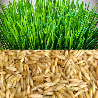 Organic Cat Oat Grass ~Fully grown in 14 days ~ Pets Love it! ~ BUY 2 GET 2 FREE 2