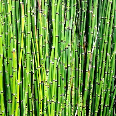 Equisetum hyemale prele geante x 3 plante bassin palustre facile 2