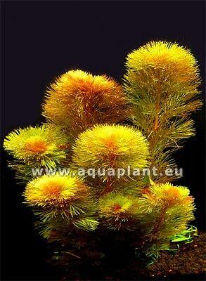 Aquariumpflanzen Set 15XXL Bunde, Aquarienpflanzen, Wasserpflanzen, Dicke Bunde 5