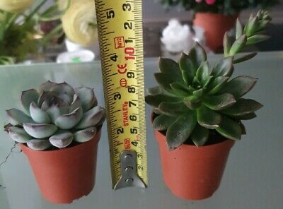 Tray of 20 Assorted Succulents plants - 5.5cm Pot 3