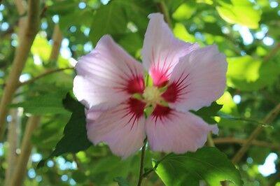Hibiskus Hibiscus Syriacus 150 Samen Roseneibisch Winterhart Weiß