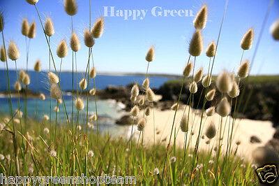 Ornamental Grass - BUNNY S TAILS - 600 SEEDS - Lagurus Ovatus - Annual 6