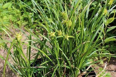Morgenstern-Segge Carex grayi Gras Ziergras 30 Samen schöne Staude winterhart