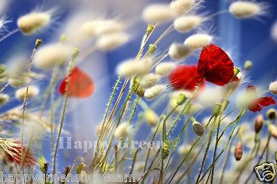 Ornamental Grass - BUNNY S TAILS - 600 SEEDS - Lagurus Ovatus - Annual 4