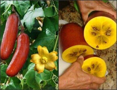 5 Graines de Melon banane, Sicana odorifera, Cassabanana seeds 2