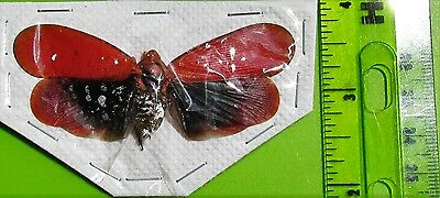 Spot winged Lanternfly Fulgorid Cicada Saiva bullata FAST FROM USA