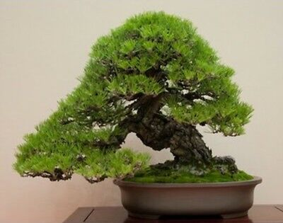 RARE Japanese Black Pine Bonsai Tree Seeds, Bonsai Pine Tree Seeds, UK Stock 6