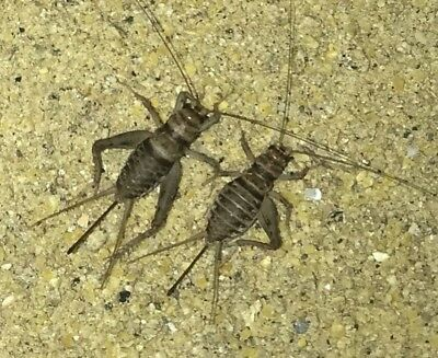 Live Crickets 250 Large 2