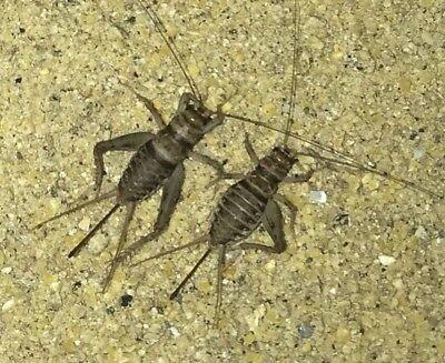 Live Crickets 500 Small 2