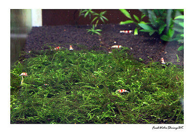 Creeping Moss On Wire Mesh / Live Aquarium Plant / Uk Seller 2