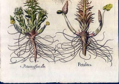 Hortus Eystettensis - Pestwurz-Winterling - Kupferstich 1613-Basilius Besler 3