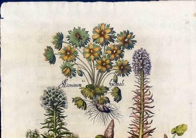 Hortus Eystettensis - Pestwurz-Winterling - Kupferstich 1613-Basilius Besler 2