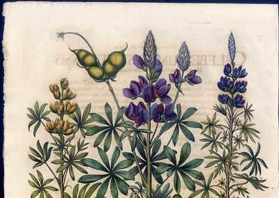 Hortus Eystettensis - Lupinen - Lupinus - Kupferstich 1613 - Basilius Besler 2