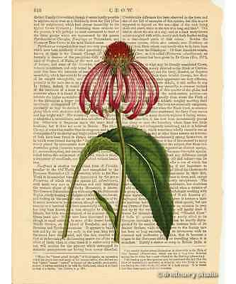 Purple Rudbeckia Cone Flower Art Print on Antique Book Page Vintage Illustration