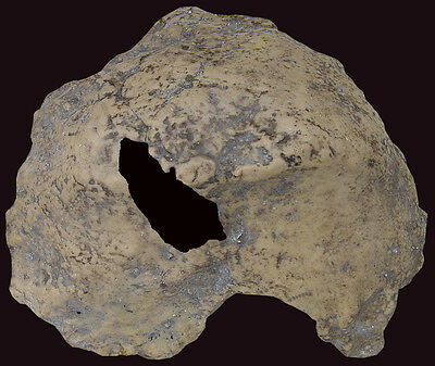Fragment of Skull of Homo erectus palaeohungaricus - a resin copy of original