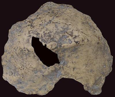Fragment of Skull of Homo erectus palaeohungaricus - a resin copy of original 2