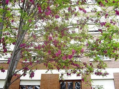 15 rose locust pink acacia flower robinia hispida fertilis tree shrub seeds 6 of 12 15 rose locust pink acacia flower robinia hispida fertilis tree shrub seeds mightylinksfo