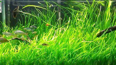 6 Vallisneria Jungle Val  plants Fresh Live Aquarium Plants BUY2GET1FREE 4