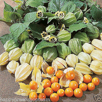 CAPE GOOSEBERRY - 220 seeds - Physalis peruviana