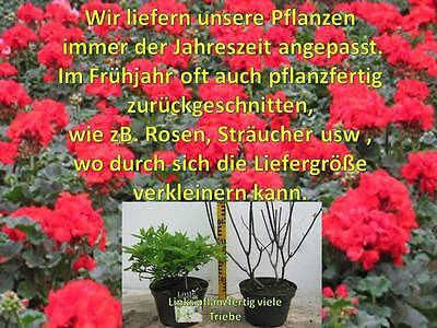 Fabelhaft RIBES JOSTABEERE SCHWARZE Johannisbeere Beerenobst Obstbaum #ZZ_79