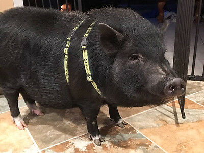 Off The Rack C Our Signature Premium Potbelly Pig Harness