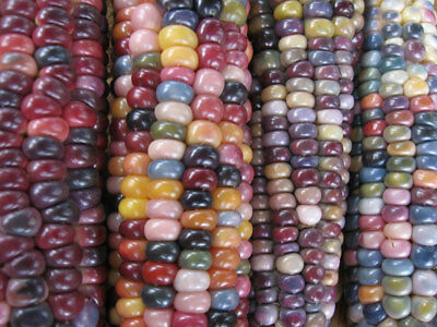 Vegetable  Glass Gem Corn 20 Seeds (Organic) 4