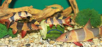 SCREWCUMBER TWIN PACK, FEEDER/WEIGHT FOR PLECS, LOACHES, MALAWI CICHLIDS,  etc 2