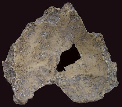Fragment of Skull of Homo erectus palaeohungaricus - a resin copy of original 3
