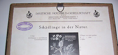 Lehrmodell Kolorado Kartoffelkäfer Deutsche Hochbild Gesellschaft München 1930er