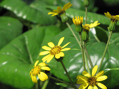 25+ FRESH Farfugium Japonicum var. Giganteum Plant Seeds VERY LARGE LEAVES 8