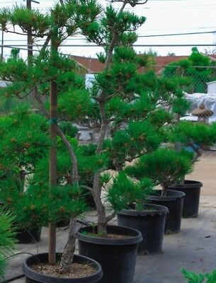 RARE Japanese Black Pine Bonsai Tree Seeds, Bonsai Pine Tree Seeds, UK Stock 4