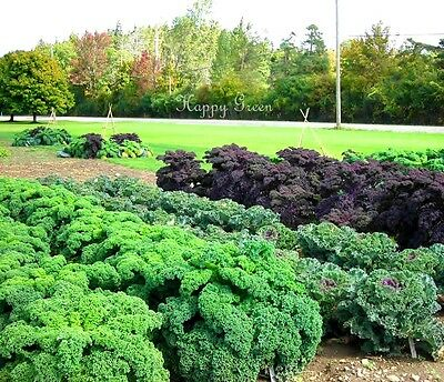 VEGETABLE - KALE - Borecole Dwarf Green Curled - 3500 seeds - Winter Hardy 3