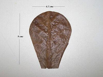 10 Nano Indian Almond (Catappa) Leaf Segments - Bettas, Shrimps, Apistos, etc.
