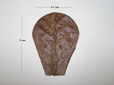 5 Nano Indian Almond (Catappa) Leaf Segments - Bettas, Shrimps, Apistos, etc.