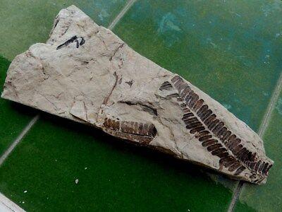 """Fosiles Helechos """" Fantastico Helecho Pecopteris+Calamites De Leon  -  5G18 """" 2"""