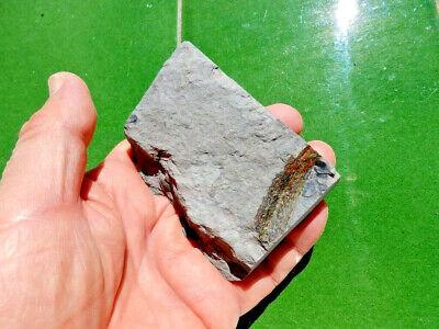 """Fosiles Helechos """" Fantastico Helecho Pecopteris+Calamites De Leon  -  3K19 """" 2"""