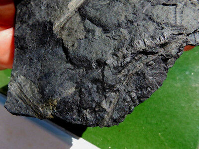 "Fosiles Helechos"" Fantastico Helecho Pecopteris+Linopteris+Calamites -  9B18 "" 5"