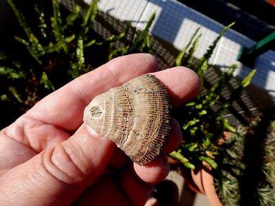 "Fosiles Moluscos "" Excepcional Coral  Plascomillia Vidali  De Lerida  -  10D18 "" 3"