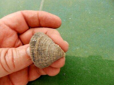 "Fosiles Moluscos "" Excepcional Coral  Plascomillia Vidali    -   8B17 "" 3"