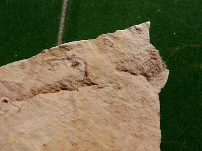"""Fosiles Trilobites """" Bonitos Y Rarisimos Estromatolitos   -  12C18 """" 5"""