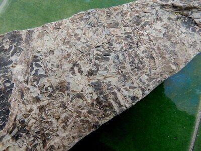"""Fosiles Helechos """" Fantastico Helecho Pecopteris+Calamites De Leon  -  5G18 """" 4"""
